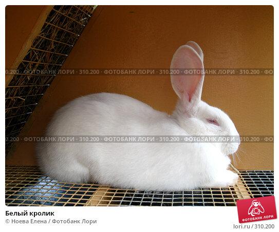 Белый кролик, фото № 310200, снято 31 мая 2008 г. (c) Ноева Елена / Фотобанк Лори