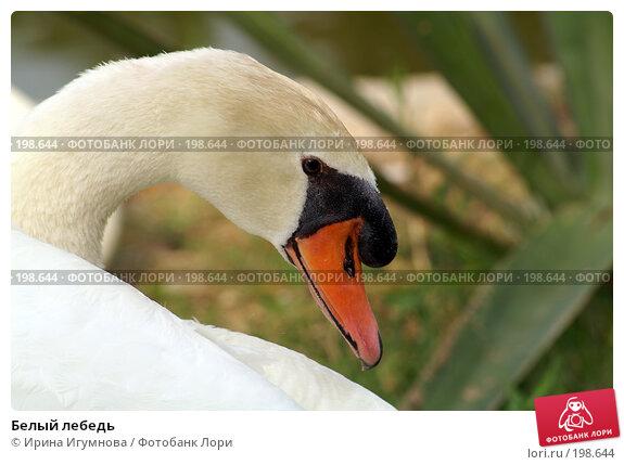 Купить «Белый лебедь», фото № 198644, снято 9 июня 2006 г. (c) Ирина Игумнова / Фотобанк Лори