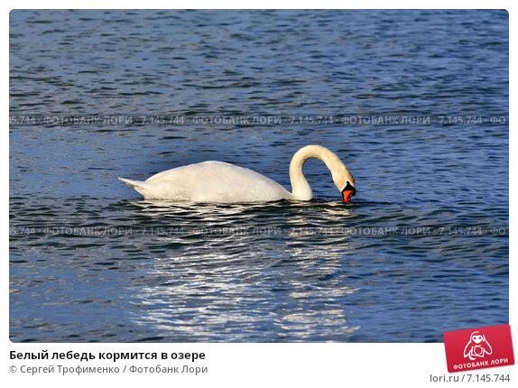 Купить «Белый лебедь кормится в озере», фото № 7145744, снято 21 января 2014 г. (c) Сергей Трофименко / Фотобанк Лори