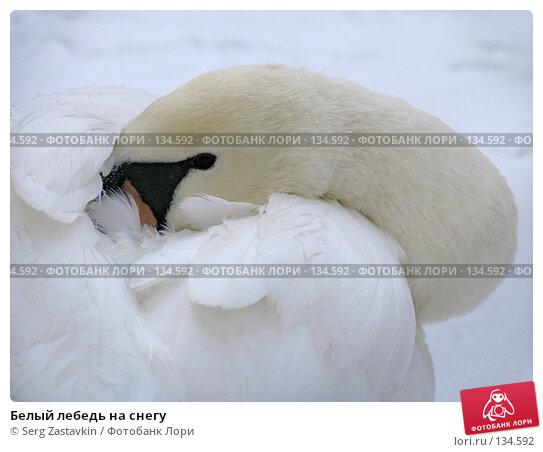 Белый лебедь на снегу, фото № 134592, снято 7 ноября 2004 г. (c) Serg Zastavkin / Фотобанк Лори