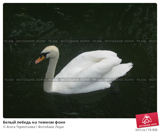 Белый лебедь на темном фоне, фото № 19436, снято 5 июня 2006 г. (c) Агата Терентьева / Фотобанк Лори