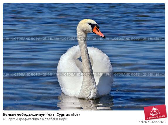 Купить «Белый лебедь-шипун (лат. Cygnus olor)», фото № 23448420, снято 1 июля 2016 г. (c) Сергей Трофименко / Фотобанк Лори