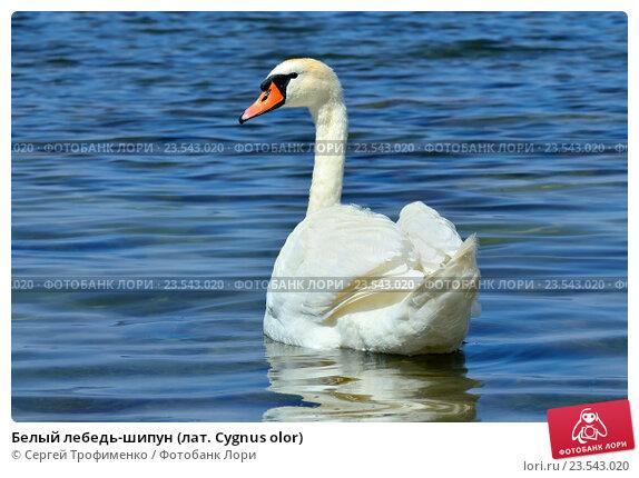 Купить «Белый лебедь-шипун (лат. Cygnus olor)», фото № 23543020, снято 1 июля 2016 г. (c) Сергей Трофименко / Фотобанк Лори