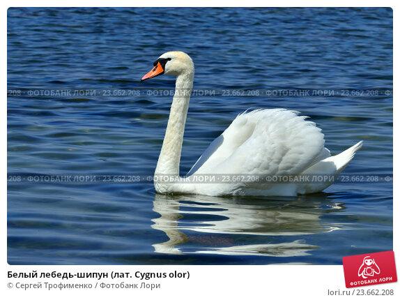 Купить «Белый лебедь-шипун (лат. Cygnus olor)», фото № 23662208, снято 1 июля 2016 г. (c) Сергей Трофименко / Фотобанк Лори
