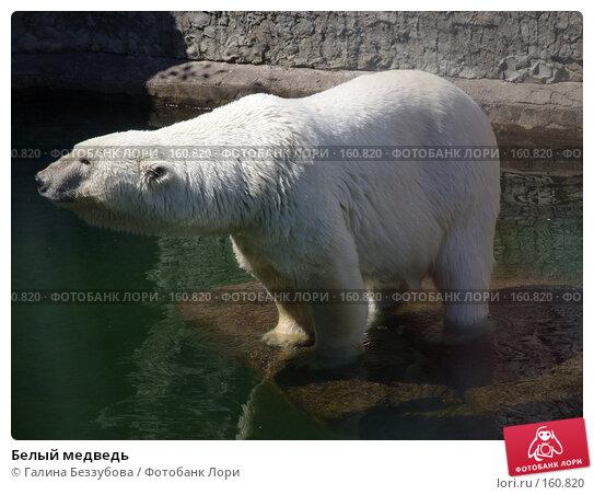 Белый медведь, фото № 160820, снято 22 июля 2007 г. (c) Галина Беззубова / Фотобанк Лори