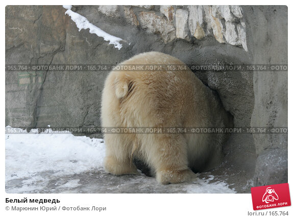 Белый медведь, фото № 165764, снято 15 декабря 2007 г. (c) Марюнин Юрий / Фотобанк Лори