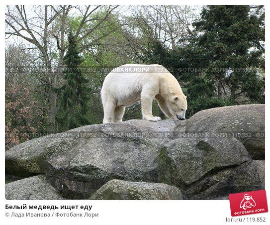 Купить «Белый медведь ищет еду», фото № 119852, снято 5 апреля 2007 г. (c) Лада Иванова / Фотобанк Лори