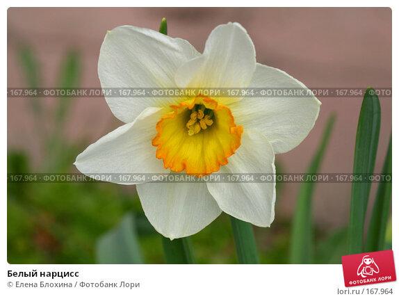 Белый нарцисс, фото № 167964, снято 28 апреля 2007 г. (c) Елена Блохина / Фотобанк Лори