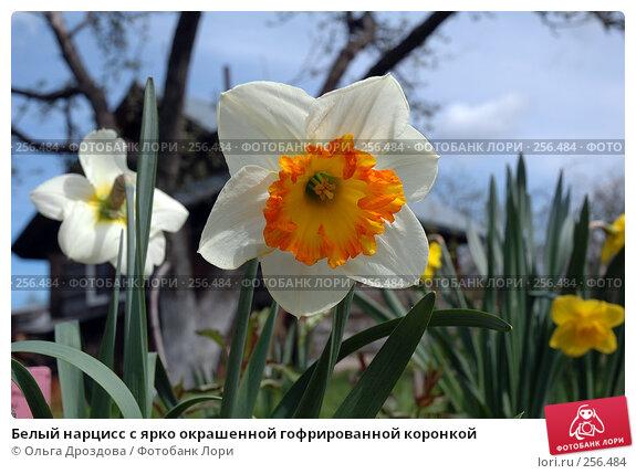 Белый нарцисс с ярко окрашенной гофрированной коронкой, фото № 256484, снято 14 мая 2005 г. (c) Ольга Дроздова / Фотобанк Лори