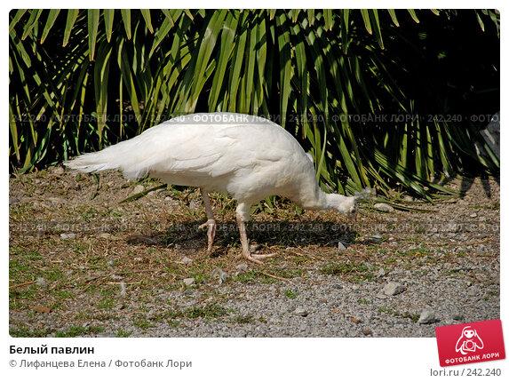Белый павлин, фото № 242240, снято 27 марта 2008 г. (c) Лифанцева Елена / Фотобанк Лори