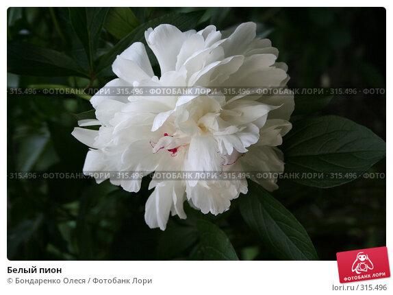 Белый пион, фото № 315496, снято 29 июня 2006 г. (c) Бондаренко Олеся / Фотобанк Лори