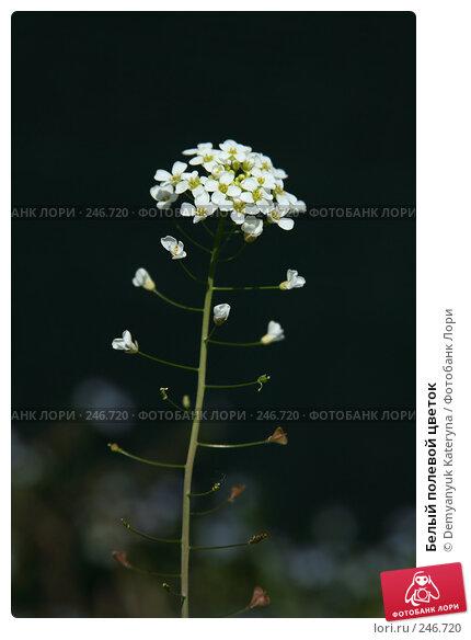 Белый полевой цветок, фото № 246720, снято 4 апреля 2008 г. (c) Demyanyuk Kateryna / Фотобанк Лори
