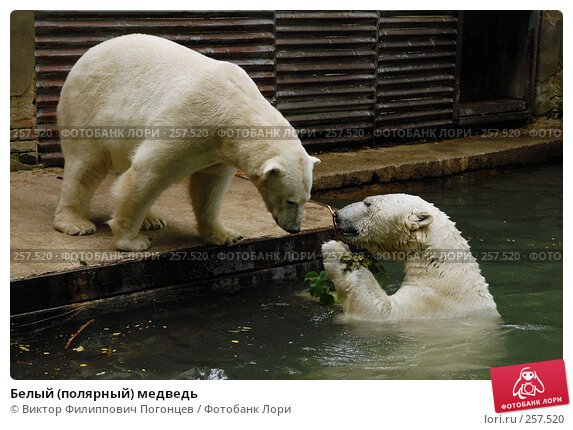 Купить «Белый (полярный) медведь», фото № 257520, снято 20 июня 2007 г. (c) Виктор Филиппович Погонцев / Фотобанк Лори