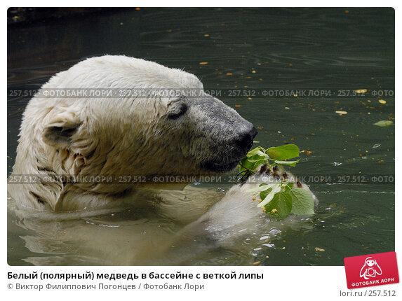Купить «Белый (полярный) медведь в бассейне с веткой липы», фото № 257512, снято 20 июня 2007 г. (c) Виктор Филиппович Погонцев / Фотобанк Лори