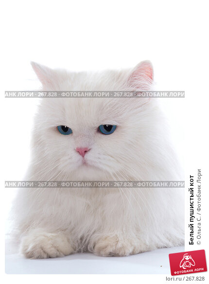 Белый пушистый кот, фото № 267828, снято 27 сентября 2007 г. (c) Ольга С. / Фотобанк Лори