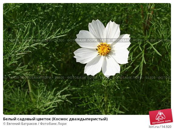 Купить «Белый садовый цветок (Космос дваждыперистый)», фото № 14920, снято 5 августа 2006 г. (c) Евгений Батраков / Фотобанк Лори
