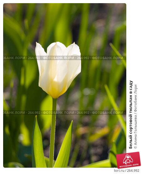 Белый сортовой тюльпан в саду, эксклюзивное фото № 264992, снято 27 апреля 2008 г. (c) Алина Голышева / Фотобанк Лори