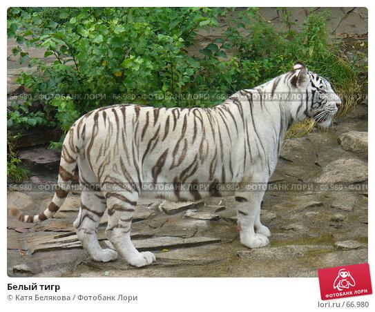 Белый тигр, фото № 66980, снято 28 июля 2007 г. (c) Катя Белякова / Фотобанк Лори