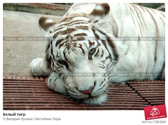 Белый тигр, фото № 126624, снято 31 июля 2007 г. (c) Валерия Потапова / Фотобанк Лори