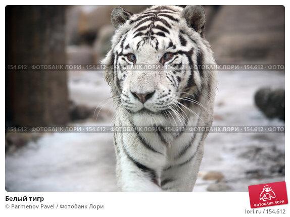 Белый тигр, фото № 154612, снято 11 декабря 2007 г. (c) Parmenov Pavel / Фотобанк Лори