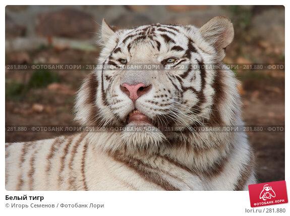 Белый тигр, фото № 281880, снято 11 ноября 2007 г. (c) Игорь Семенов / Фотобанк Лори