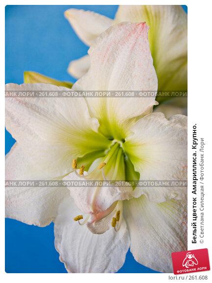 Купить «Белый цветок  Амариллиса. Крупно.», фото № 261608, снято 24 апреля 2008 г. (c) Светлана Силецкая / Фотобанк Лори