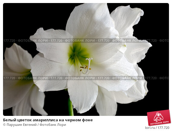 Белый цветок амариллиса на черном фоне, фото № 177720, снято 23 марта 2017 г. (c) Парушин Евгений / Фотобанк Лори