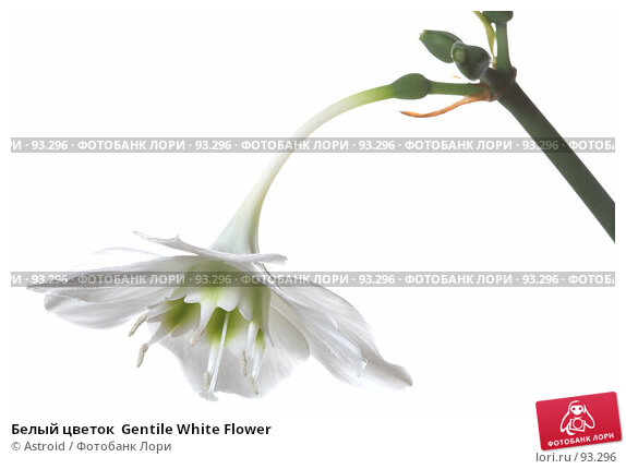 Белый цветок  Gentile White Flower, фото № 93296, снято 28 апреля 2007 г. (c) Astroid / Фотобанк Лори