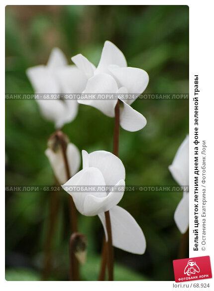 Белый цветок летним днем на фоне зеленой травы, фото № 68924, снято 24 июля 2007 г. (c) Останина Екатерина / Фотобанк Лори