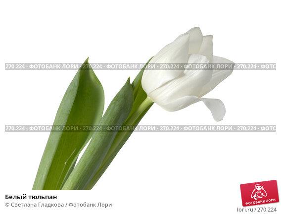Белый тюльпан, фото № 270224, снято 13 января 2008 г. (c) Cветлана Гладкова / Фотобанк Лори