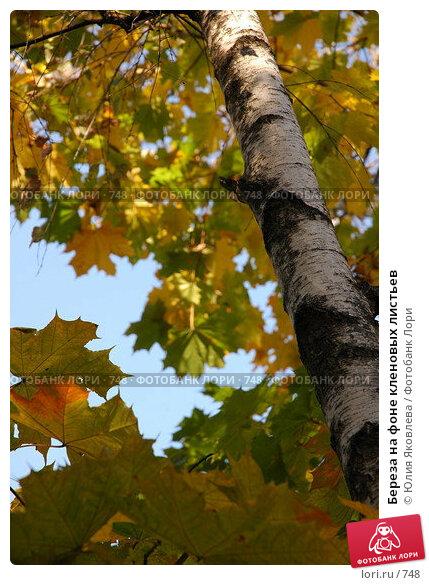 Береза на фоне кленовых листьев, фото № 748, снято 1 октября 2005 г. (c) Юлия Яковлева / Фотобанк Лори