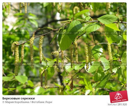 Березовые сережки, фото № 281920, снято 28 апреля 2008 г. (c) Мария Коробкина / Фотобанк Лори