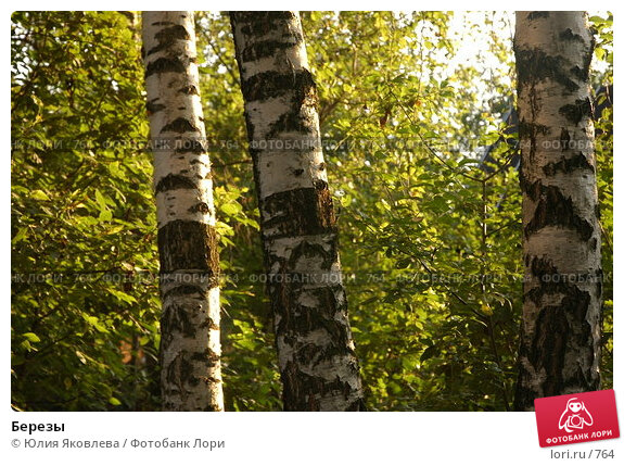 Березы, фото № 764, снято 5 августа 2005 г. (c) Юлия Яковлева / Фотобанк Лори