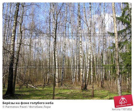 Купить «Берёзы на фоне голубого неба», фото № 107832, снято 3 мая 2004 г. (c) Parmenov Pavel / Фотобанк Лори