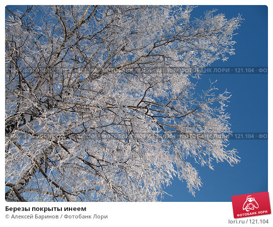 Березы покрыты инеем, фото № 121104, снято 30 ноября 2006 г. (c) Алексей Баринов / Фотобанк Лори