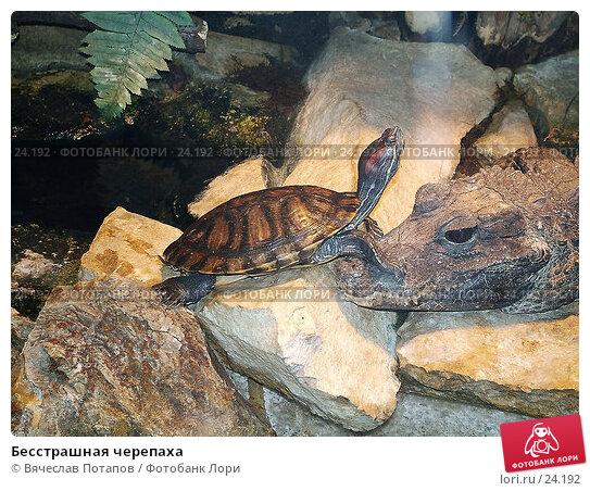 Бесстрашная черепаха, фото № 24192, снято 20 марта 2004 г. (c) Вячеслав Потапов / Фотобанк Лори
