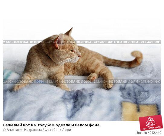 Бежевый кот на  голубом одеяле и белом фоне, фото № 242440, снято 21 июля 2007 г. (c) Анастасия Некрасова / Фотобанк Лори
