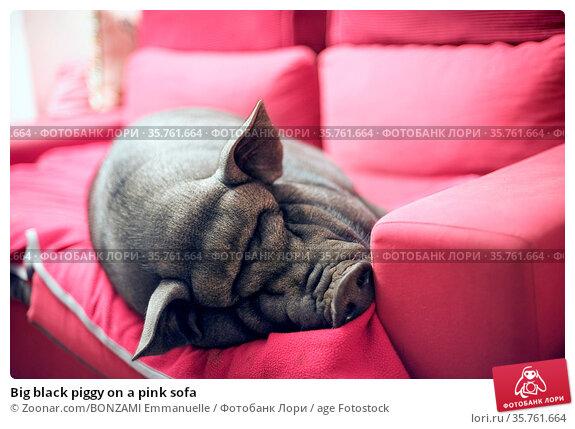 Big black piggy on a pink sofa. Стоковое фото, фотограф Zoonar.com/BONZAMI Emmanuelle / age Fotostock / Фотобанк Лори