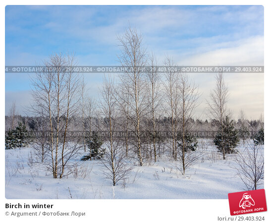 Купить «Birch in winter», фото № 29403924, снято 25 января 2013 г. (c) Argument / Фотобанк Лори
