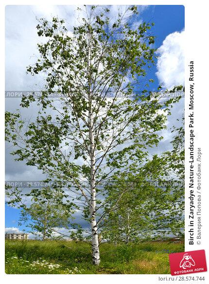 Купить «Birch in Zaryadye Nature-Landscape Park. Moscow, Russia», фото № 28574744, снято 7 июня 2018 г. (c) Валерия Попова / Фотобанк Лори