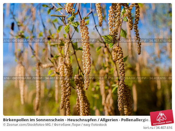 Birkenpollen im Sonnenschein - Heuschnupfen / Allgerien - Pollenallergie... Стоковое фото, фотограф Zoonar.com/Stockfotos-MG / easy Fotostock / Фотобанк Лори