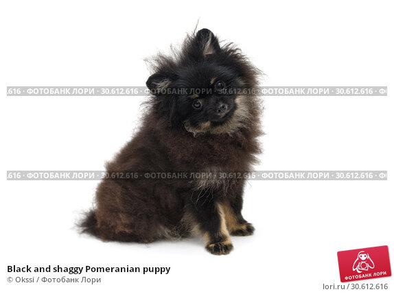 Купить «Black and shaggy Pomeranian puppy», фото № 30612616, снято 10 апреля 2019 г. (c) Okssi / Фотобанк Лори