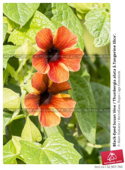 Black-Eyed Susan Vine / Thunbergia alata â.Tangerine Slice'. Стоковое фото, фотограф Alain Kubacsi / age Fotostock / Фотобанк Лори