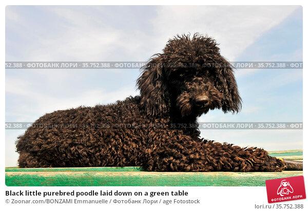 Black little purebred poodle laid down on a green table. Стоковое фото, фотограф Zoonar.com/BONZAMI Emmanuelle / age Fotostock / Фотобанк Лори