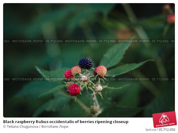 Black raspberry Rubus occidentalis of berries ripening closeup. Стоковое фото, фотограф Tetiana Chugunova / Фотобанк Лори