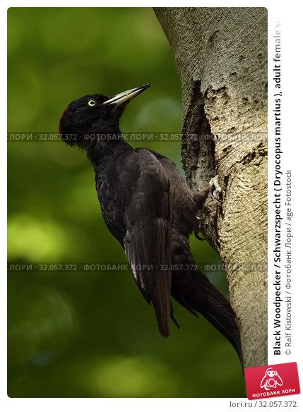 Black Woodpecker / Schwarzspecht ( Dryocopus martius ), adult female with food in its beak, perched in front of nesting cavity in a beech, wildlife, Europe. Стоковое фото, фотограф Ralf Kistowski / age Fotostock / Фотобанк Лори
