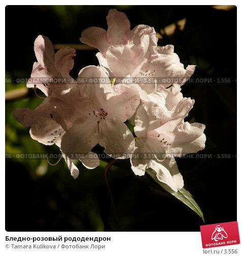 Бледно-розовый рододендрон, фото № 3556, снято 3 июня 2006 г. (c) Tamara Kulikova / Фотобанк Лори