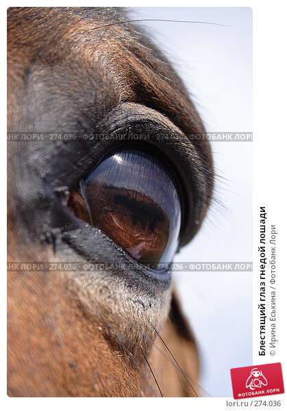 Блестящий глаз гнедой лошади, фото № 274036, снято 30 апреля 2008 г. (c) Ирина Еськина / Фотобанк Лори