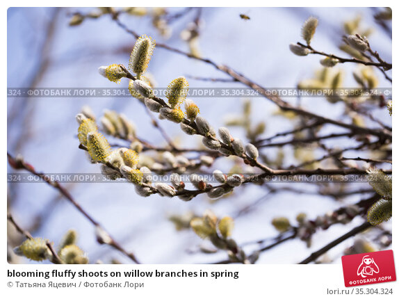 blooming fluffy shoots on willow branches in spring. Стоковое фото, фотограф Татьяна Яцевич / Фотобанк Лори