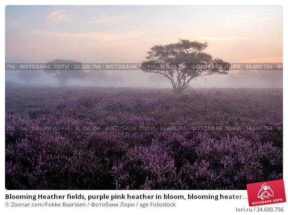 Blooming Heather fields, purple pink heather in bloom, blooming heater... Стоковое фото, фотограф Zoonar.com/Fokke Baarssen / age Fotostock / Фотобанк Лори
